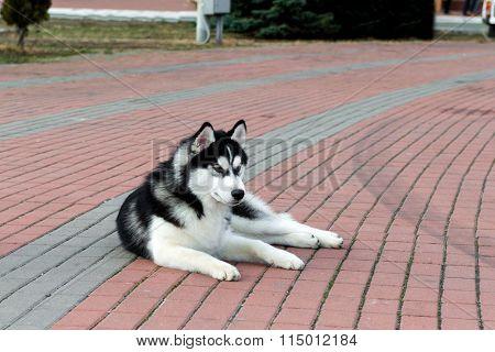 Siberian husky lies.