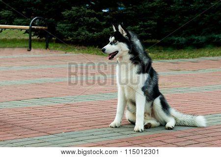 Siberian husky seats.