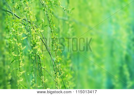 Beautiful young green willow tree leaves in early spring. Shallow depth of field.
