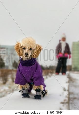 Cute Poodle Puppy In Winter Clothes