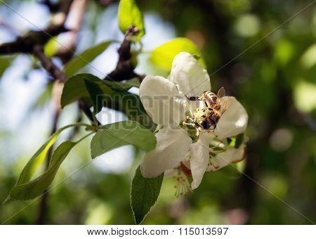 Bee On A Flower Collects Honey Apple, A Flower Pollinating