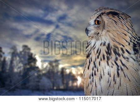 owl portrait on winter sunset background
