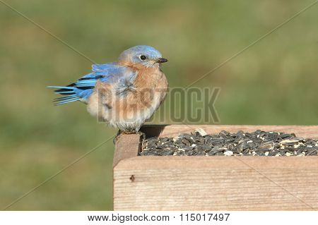 Male Eastern Bluebird On A Feeder