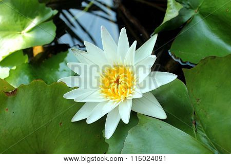 White lotus with leave