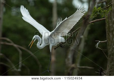 Egret Leaping Off