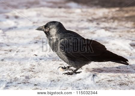 Common Raven (corvus Corax). Wild Life Animal.