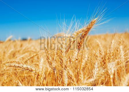 Beautiful Gold wheat field and blue sky