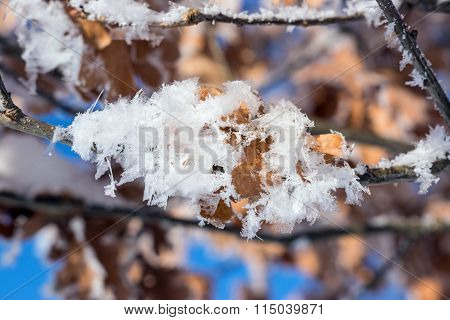 Hoar frost covered oak leaves at winter forest