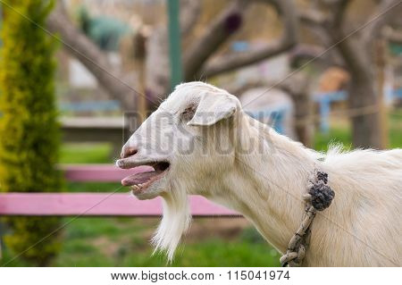 Cute goat bleating. A close up look.