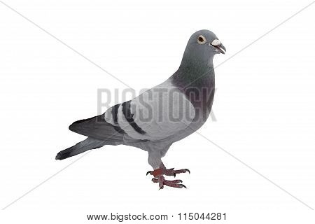 Grey sport pigeon isolated on white
