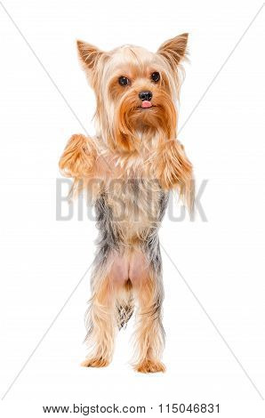 Yorkshire terrier standing on his hind legs