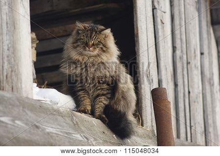 Siberian cat is sitting on board