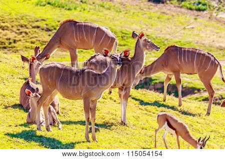 Female Nyala Antelopes
