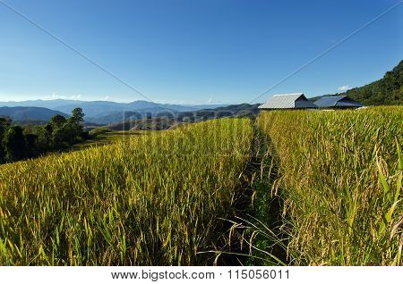View Of Rice Farm And Cloudy Blue Sky By Local People In Mountain, Northern Part Of Thailand