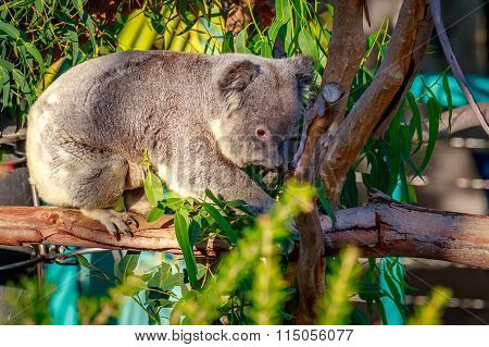 Koala On Tree Branch