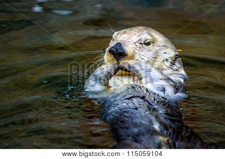 Sea Otter Feeding