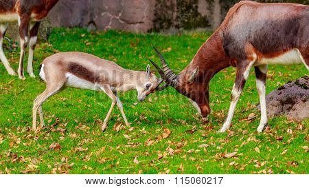 Speke Gazelle Headbutt With Bontebok Antelope