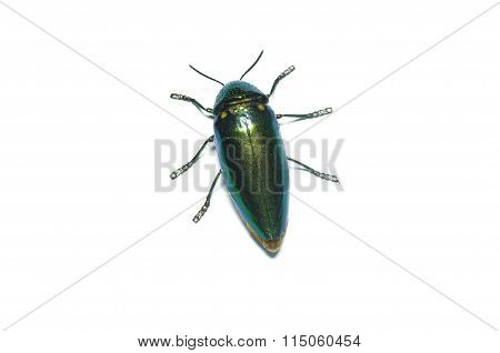 Jewel beetle, Metallic wood-boring beetle in Thailand