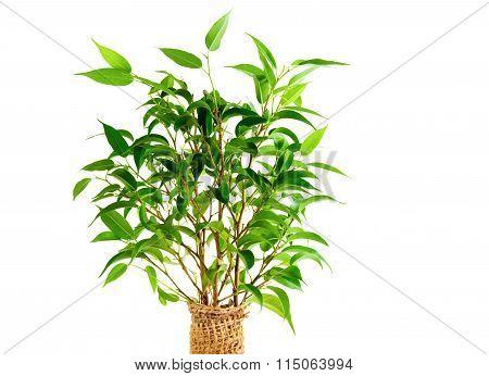 Leaves Of Ficus Benjamina