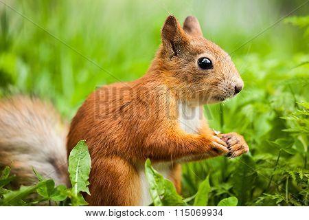 Red Squirrel, Sciurus, Standing On Hind Legs