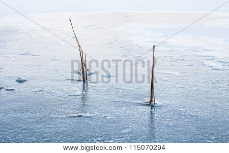 Common Bulrush Frozen in Ice Winter Landscape