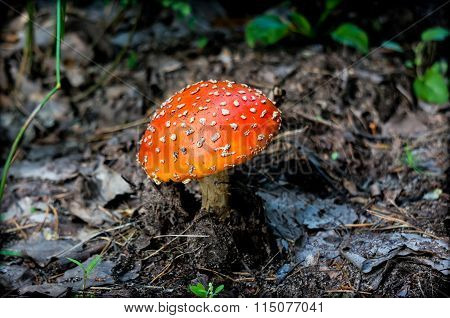 Mushroom Fly Agaric In The Forest