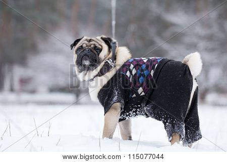 Pug Walks On Leash In Winter.
