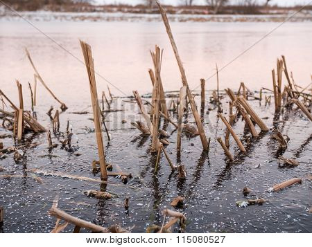 Common Bulrush Frozen in Ice in Sweden