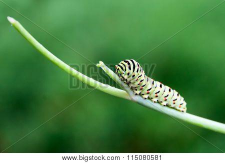 ?aterpillar on a branch
