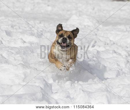 Bulldog running in the snow