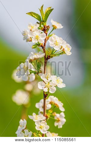 Apple Tree Blooming