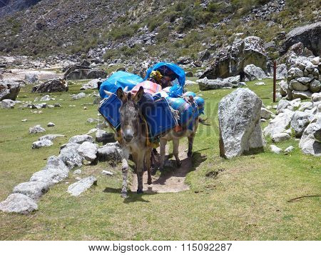 Donkey Carrying Luggage Of Trekkers