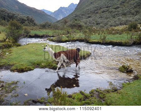 Llama At The Small Stream In The Mountains
