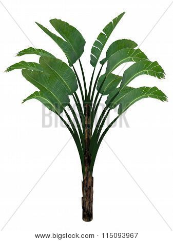 Giant white bird of paradise or wild banana tree, strelitzia nicolai - 3D render