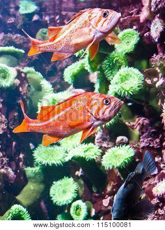 Orange canary rockfish and green anemones.