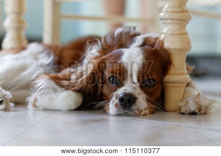 Dog Lying On The Floor And Sad Looks Forward