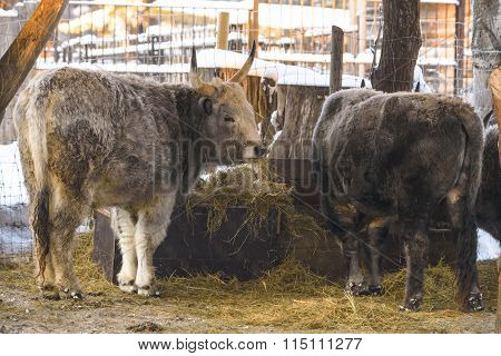 Hungarian grey cow