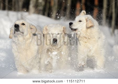 three dogs playing in the snow