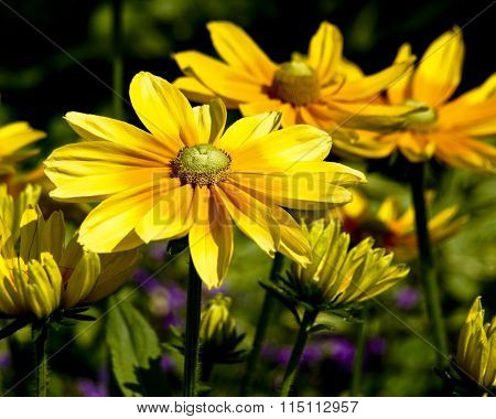 Bright yellow daisy flowers.