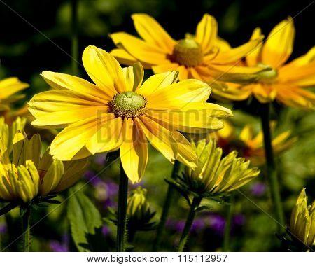 Bright yellow daisy flowers.