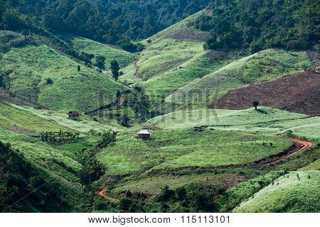 White rapeseed flower field in Moc Chau, Son La province, Vietnam