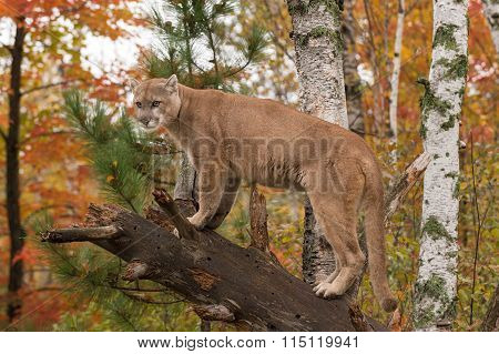 Adult Male Cougar (puma Concolor) Looks Out From Branch
