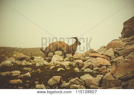 Capra Pyrenaica, Capra Caucasica. Caucasus.