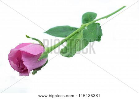 Single Pink Rose With Green Leaf On Isolated White Background/one Pink Rose