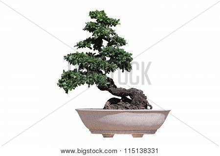 The Little Tree, Bonsai Tree In Pot Isolated On White Background.