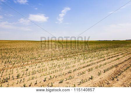 corn germ .  field