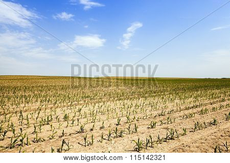 corn field . Agricultural