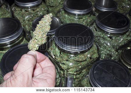 Marijuana Bud Held in Front of Jars Packed Full