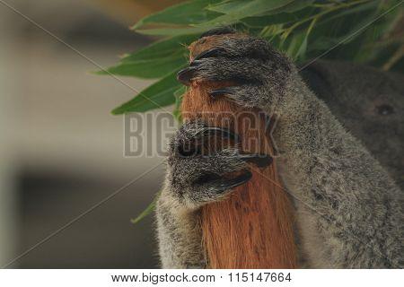 Koala Paws
