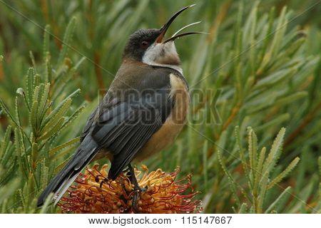 Nectar Feeding Bird